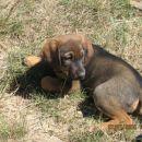 Pes mešanček .Star približno mesec in pol.