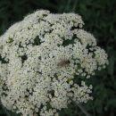 čebelica na cvetu