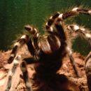 ptičji pajki