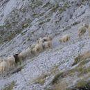 ovce pod Brano