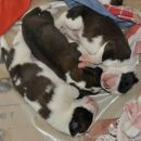 Tyronica S puppies