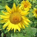 Der Sunflower #1