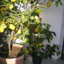 domača limona