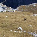 Capricorn- alpine goats