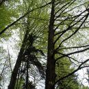 D1: Gozdna bukev