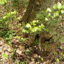 G2: Gozdna bukev