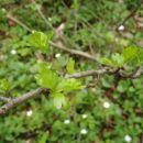Listni poganjek neznanega drevesa