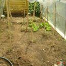 Pokriti paradajzki - še majhni, a bodo že zrastli