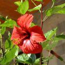 cvet hibiscusa (in če dobro pogledaš vidiš v njem majhno čebelico....) pri anteju v pakle