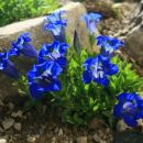 SVIŠČ JE VZVETEL NA NAJINEM SKALNJAKU to pomlad