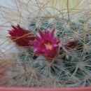 cvet kaktusa