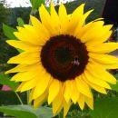moje cvetlično sonce