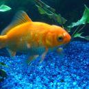 Miša, zlata ribica, katero sem dobila v dar od svojih cimer in sošolk 2005