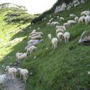 Neustrašne ovčke.