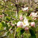 Jabuka že cvetijo.