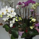 april 2008- vse moje orhideje(po zalivanju)