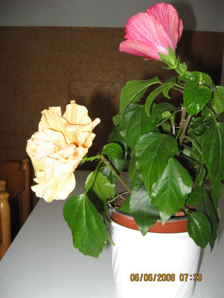 Hibiscus dobljen od hčerke