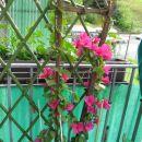 balkonska bugenvilija letos