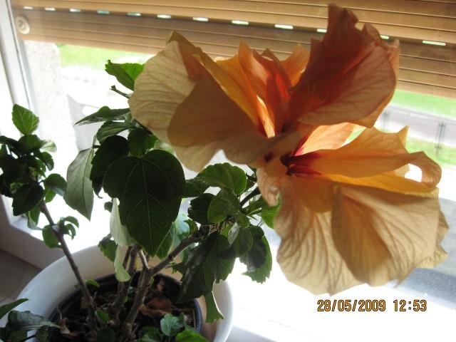Cvet hibiscusa 28.05.2009