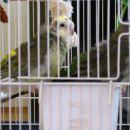 pojoči papigi