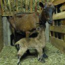 koza Helga z mladičkoma