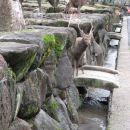In jelenov, eden celo z rogovi.