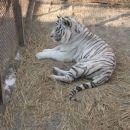 Za konec se beli tigercek:)