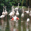 In flamingi veselijo.